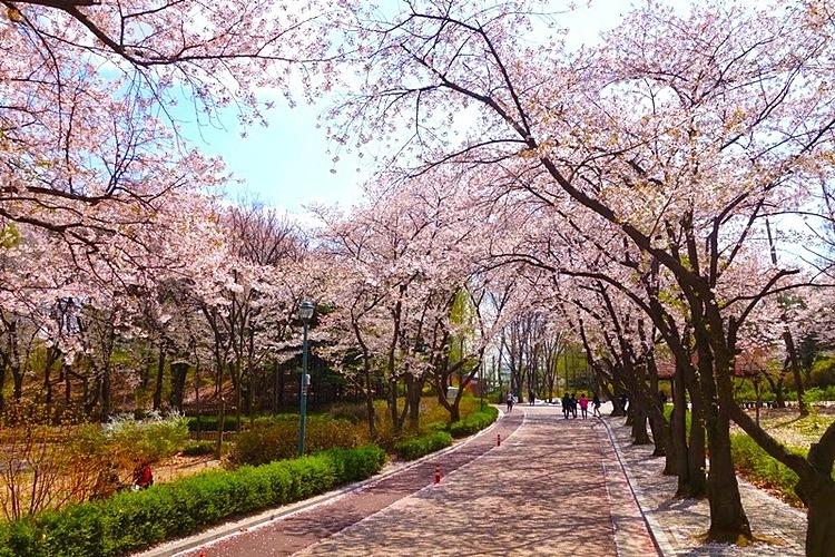 Tour ngắm hoa anh đào Hàn Quốc giá 9,99 triệu đồng