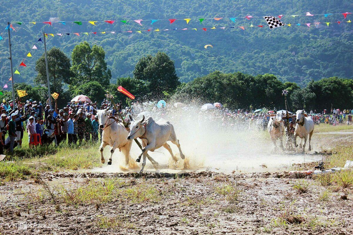 Giải đua bò muộn hấp dẫn du khách