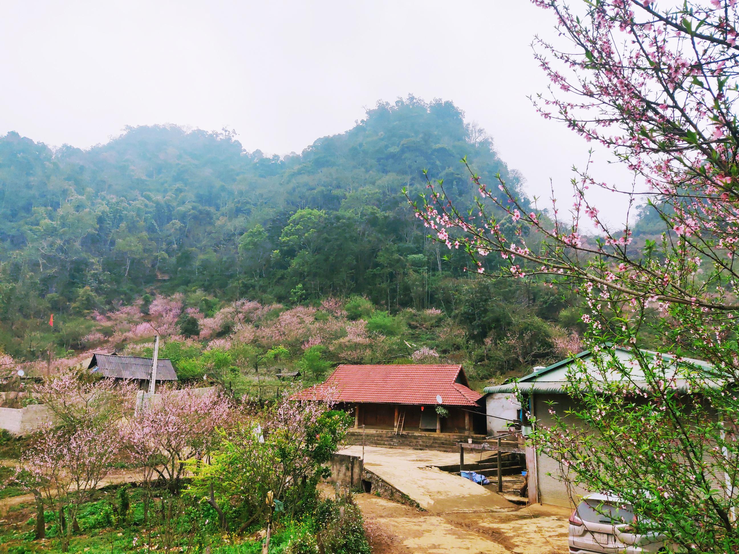 Mùa đào nở muộn ở Lóng Luông
