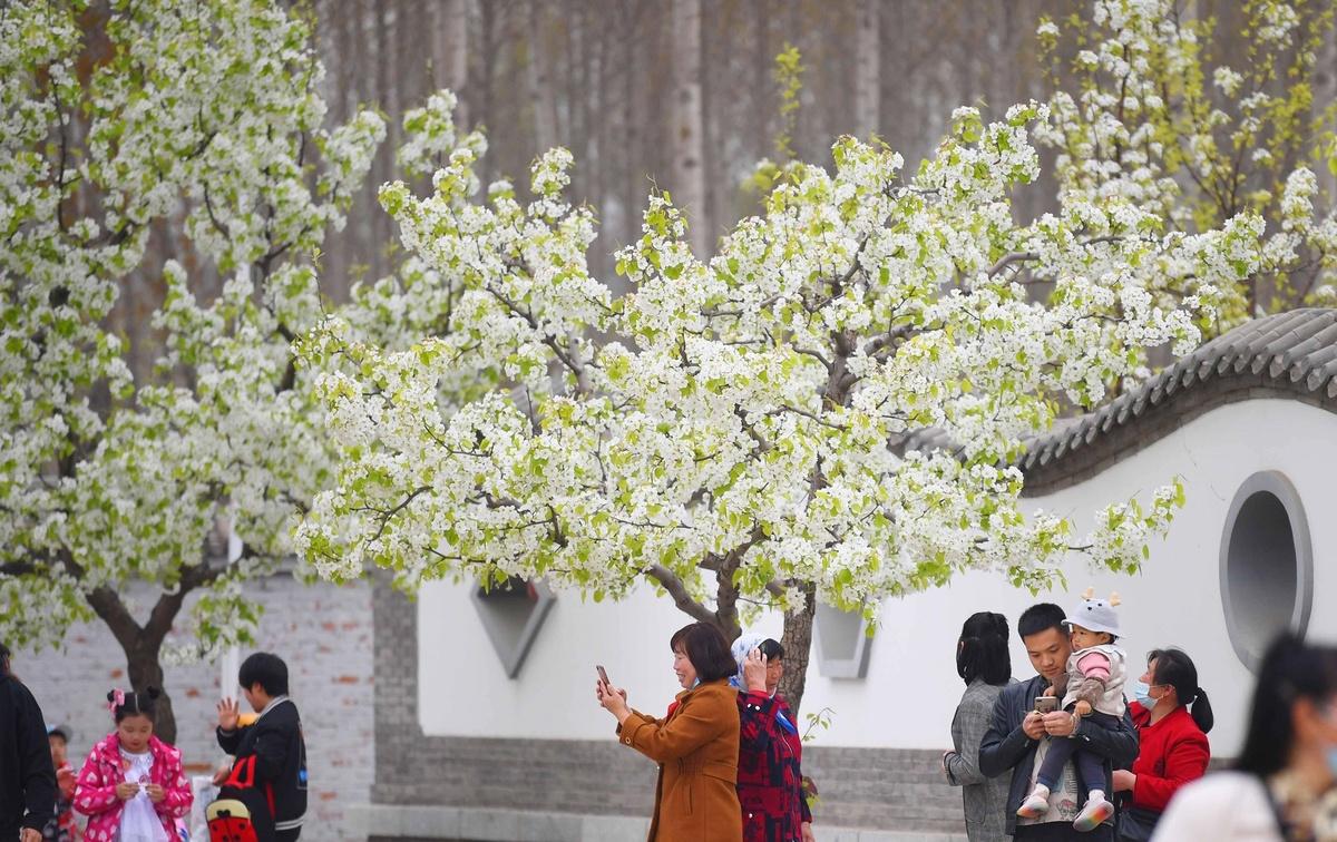 Vườn hoa lê trắng 'ngàn dặm' ở Trung Quốc