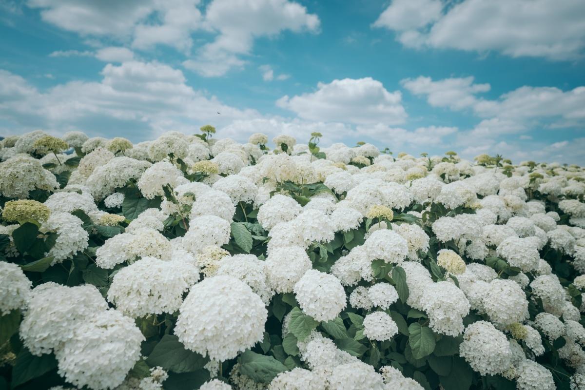 Biển hoa tú cầu trắng muốt tựa bông gòn