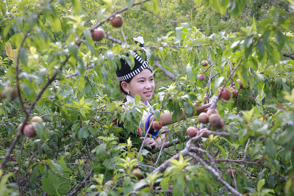 Thung lũng mận tam hoa ở Nghệ An vào vụ