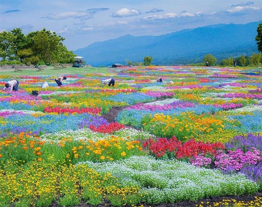 Công viên 'dệt thảm hoa' 3 triệu bông ở Nhật