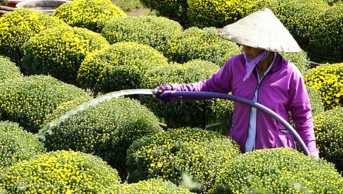 Làng hoa Sa Đéc, Cái Mơn giảm 50% sản lượng hoa Tết